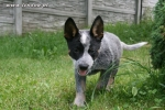 Moje pieski - Australian Cattle Dog