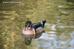 Karolinki stalowe - Steel Wood Duck, Blue-Pastel